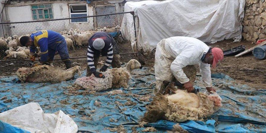 Besicilerin 'koyun kırkma telaşı' başladı