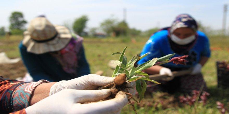 'Salep orkidesi' Samsunlu çiftçinin yeni gelir kapısı oldu