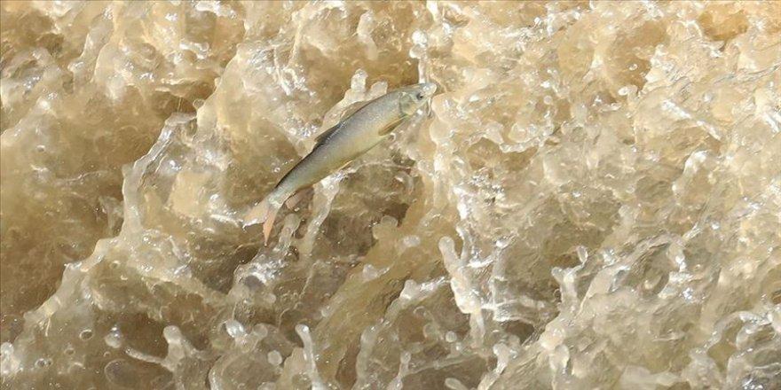 Siraz balığının zorlu yolculuğu hayranlık uyandırıyor