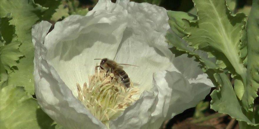 Afyonkarahisar'da arıcıların gözdesi haşhaş poleni