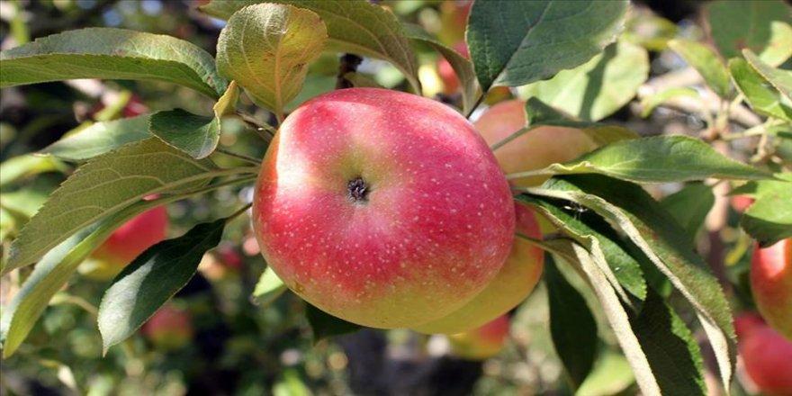 Amasya elmasının 48 farklı türü koruma altına alındı