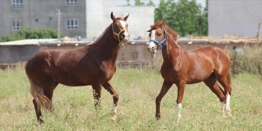 Safkan Arap atı yetiştiricileri, 10 Haziran'da başlayacak yarışlara hazırlanıyor