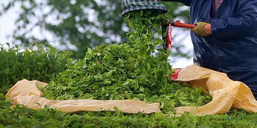 Rize'den yapılan 4 aylık çay ihracatı yüzde 159 arttı