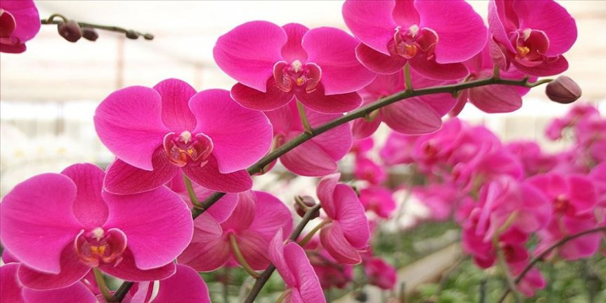 Antalya'da serada yetiştirilen rengarenk orkideler sahiplerini bekliyor