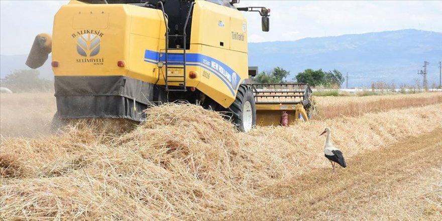 Aydın'da buğdayda 74 bin tonluk rekolte beklentisi