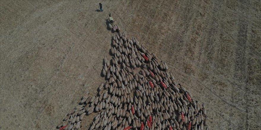 Türkiye'nin en büyük tarım işletmesinde 'elit' sürülere koç katımı başladı