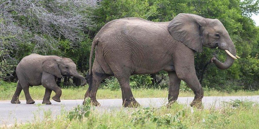 Botsvana'da 3 ayda 154 fil ölü bulundu