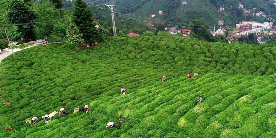 Çay sanayicileri 'son 10 yılın en kaliteli' ürününü bekliyor