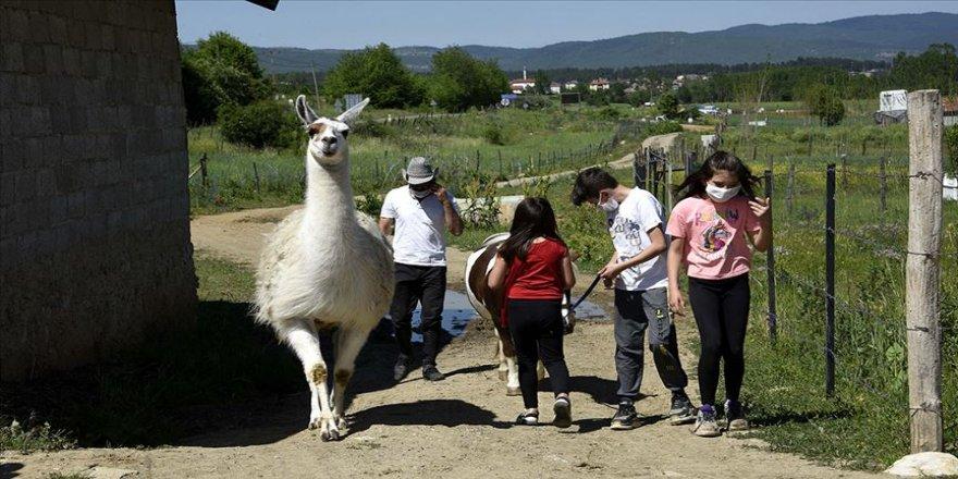 Köyde özgürce yaşayan lama 'Pamuk' ilgi odağı oldu