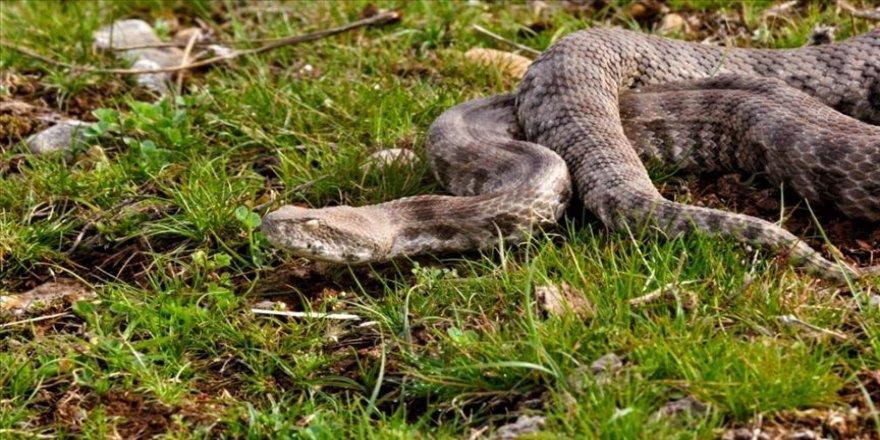 Yılanları öldürmek 'zoonoz hastalıkların önünü açabilir' uyarısı
