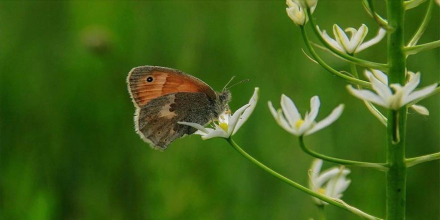 Ovacık 'küçük zıp zıp perisi' kelebeklerle şenlendi
