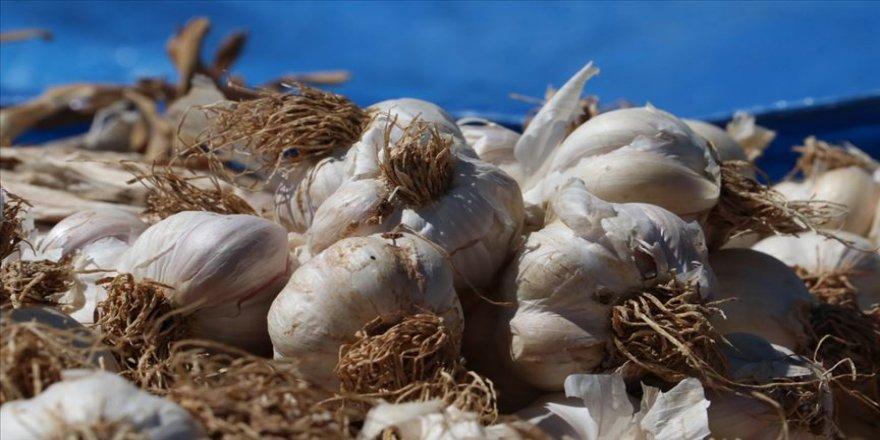 Kastamonu'da sarımsak üreticileri güneşe hasret