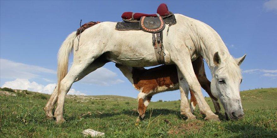 Sivas'ta annesiz danayı at emziriyor