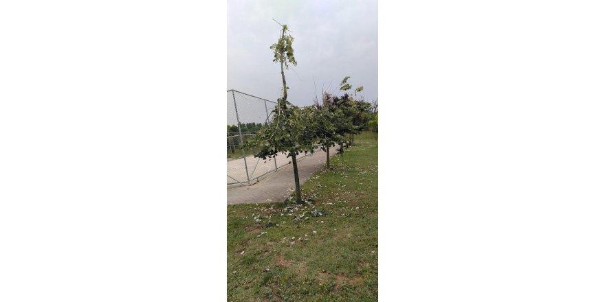 Gebze'de bazı vatandaşlar Ihlamur toplamak için ağaçları parçaladı