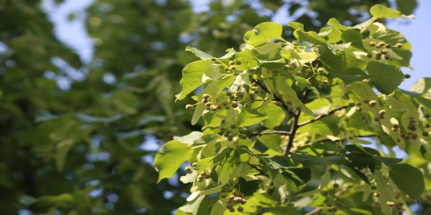 Kocaeli'yi ıhlamur ağaçlarının kokusu bürüdü ! Vatandaş zarar vermeden toplayabilir