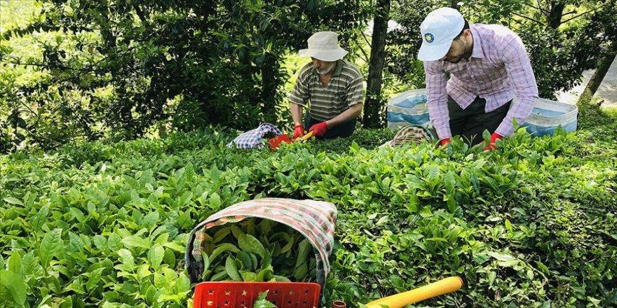 ÇAYKUR yaş çay budama bedellerini üretici hesaplarına aktardı