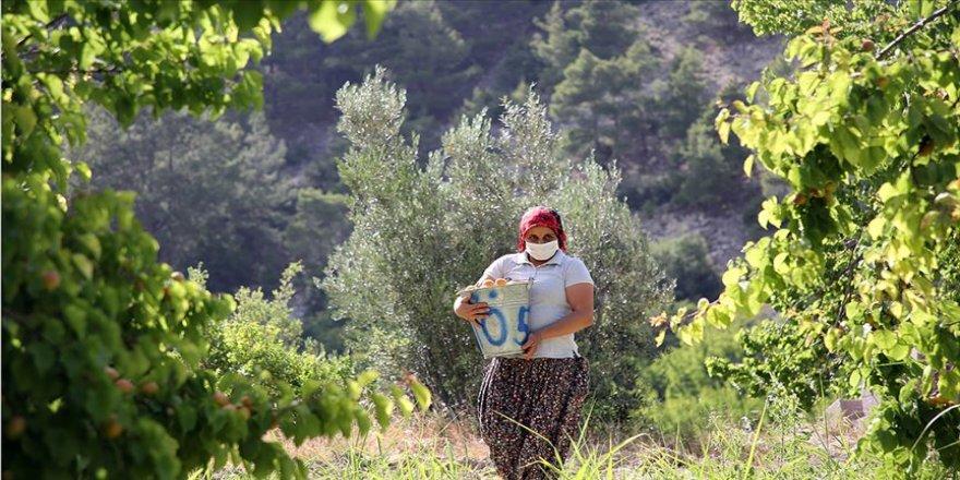 Kayısı bahçelerinde 'Mut'lu kadınların zorlu hasat mesaisi