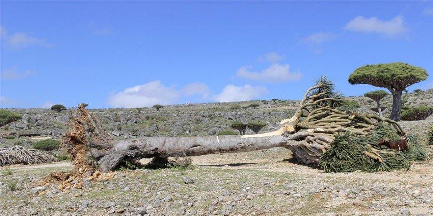 Yemenli Müsteşar Rahbi: Sokotra'daki ender ağaçlar, ayrılıkçı GGK desteğiyle BAE'ye kaçırılıyor