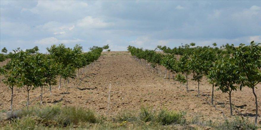 Devlet desteğiyle bozkırda kurulan ceviz bahçeleri meyve vermeye başladı