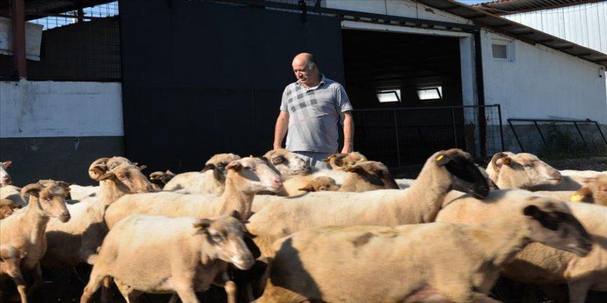 İngiliz ırkı ile yerli koyun cinslerinin birleştirildiği çiftlikte et verimi arttı