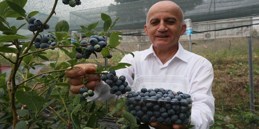 Alternatif ürün 'maviyemiş' ekonomiye büyük katkı sağlıyor