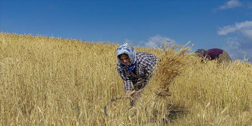 Tarım makinelerinin giremediği tarlaları kadınlar orakla biçiyor