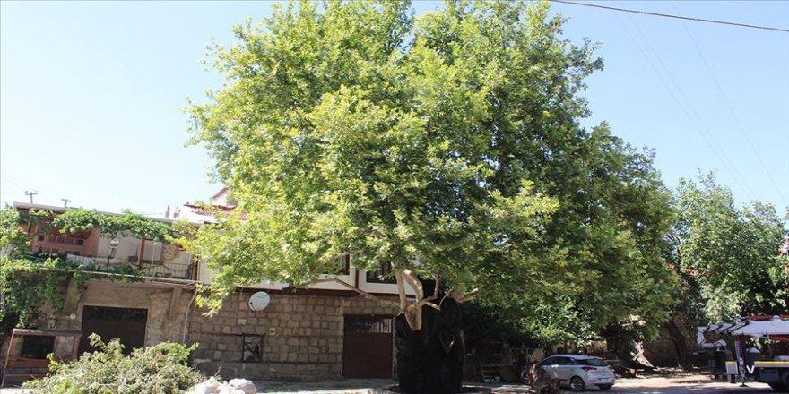 650 yaşındaki tarihi çınar ağacı tedavi edildi
