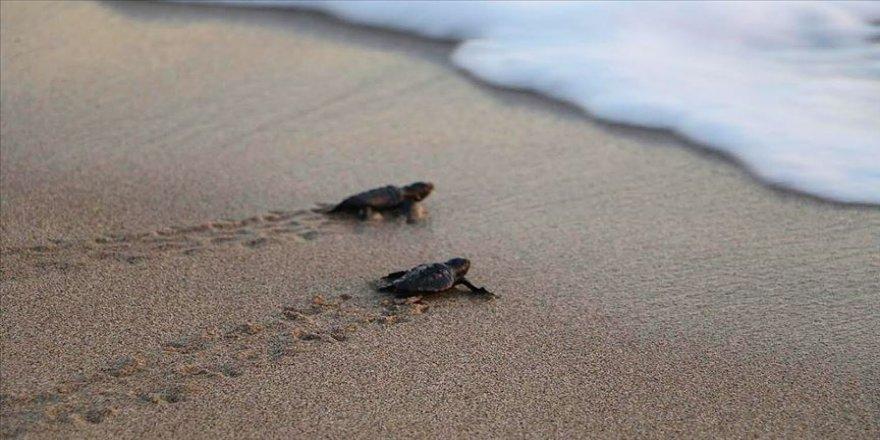 Patara'da caretta caretta yavruları denizle buluştu