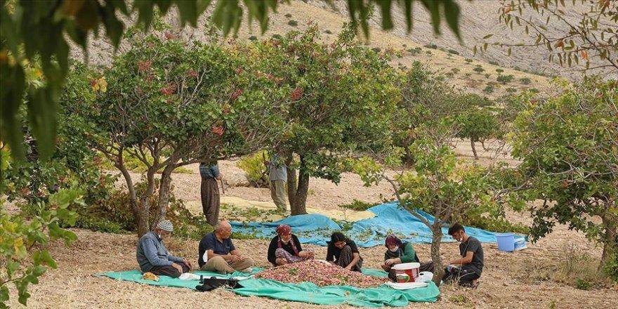 Dedelerinin diktiği fıstık ağaçları torunlarına gelir kaynağı oldu