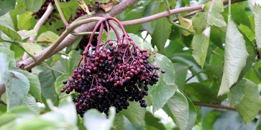 Bağışıklığı güçlendirici meyveler 'aronya' ve 'mürver'in hasadı yapılıyor