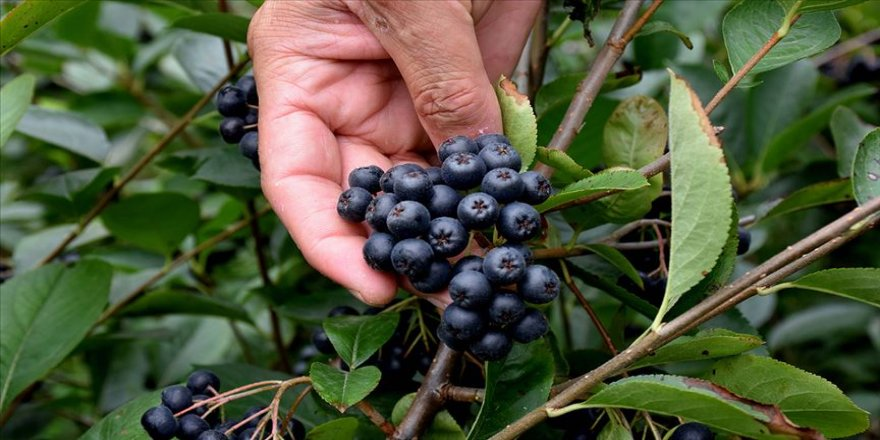 'Süper meyve' Trabzon'da üreticilerin gelir kapısı olacak