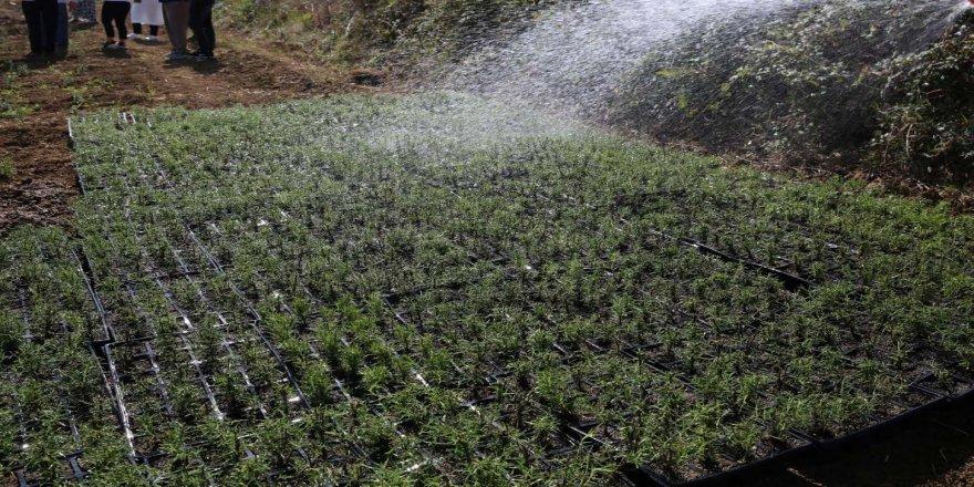 2 milyon biberiye fidesi toprakla buluşuyor