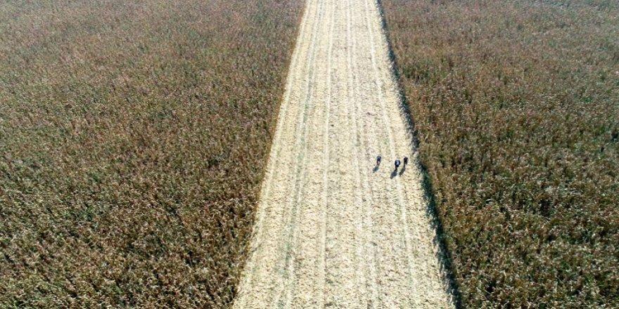 Atıl alana ekilen mısır çocuklara park ve spor alanı kazandıracak