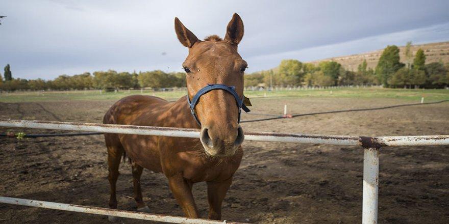 Şampiyon atların yetiştiği haranın tayları yarış yolunda