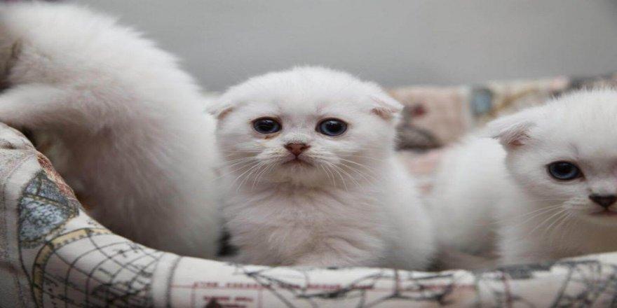 Patigil Ailesinden Ücretsiz Kedi Sahiplendirme İlanları