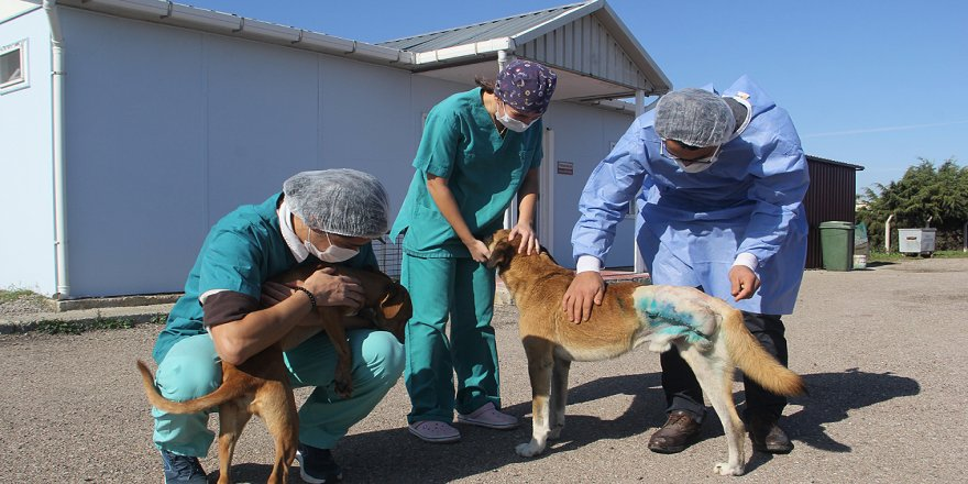Cezayirli veteriner Sinop'ta sokak hayvanlarının bakımına yardım ediyor