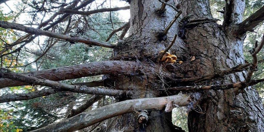 Bolu'da aynı kökte birbirlerine sarılı çam ve köknar ağaçları görenleri şaşırtıyor