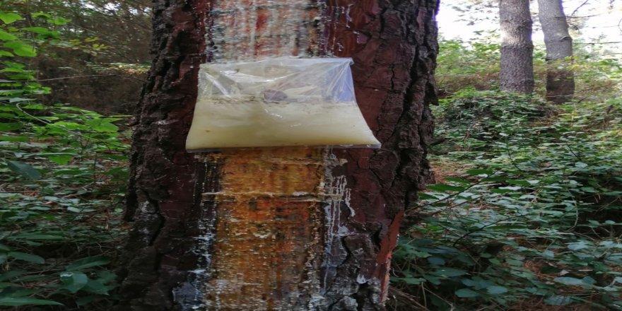Çam sakızları için ağaçları bu hale getirdiler
