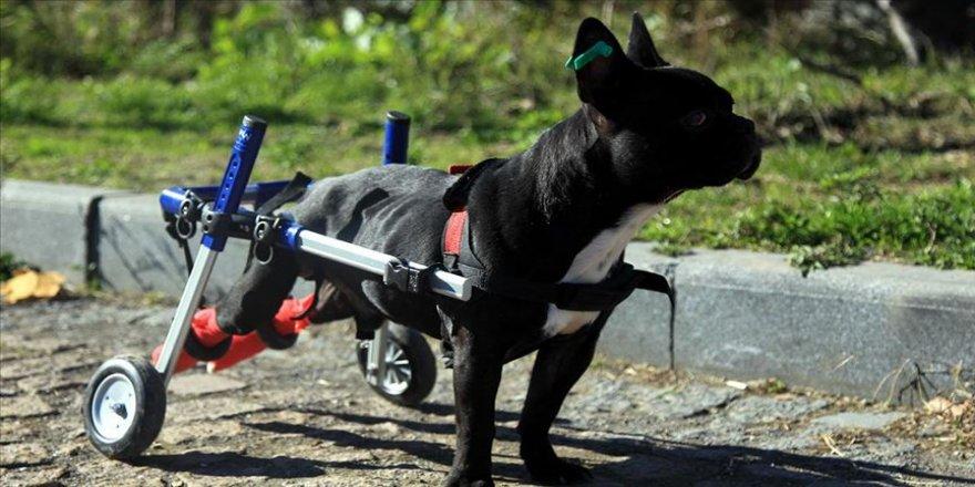 Bacakları felçli 'Kara Şimşek' tekerlekli yürüteçle hayata bağlandı