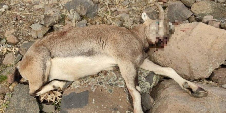 Tunceli'de koruma altındaki yaban keçisini avlayan kişiye para cezası kesildi