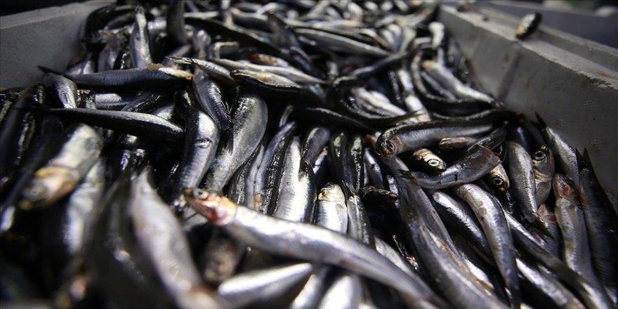 Karadeniz hamsisi en lezzetli dönemine ulaştı