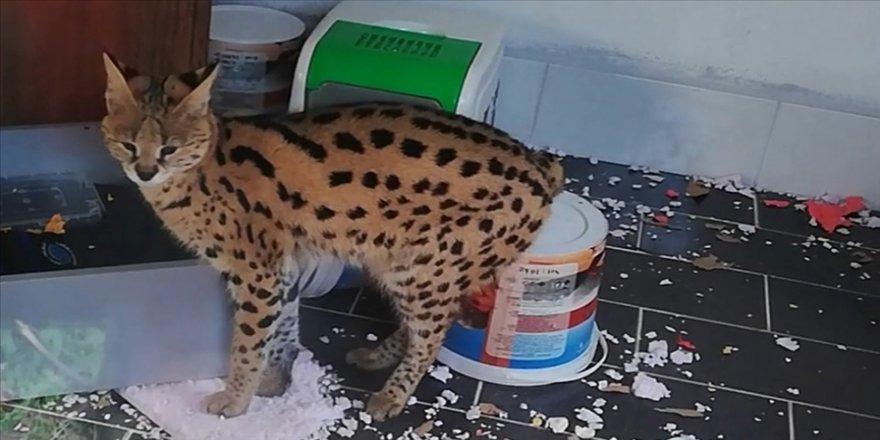 Sakarya'da 'Savannah' cinsi Afrika yaban kedisi ele geçirildi