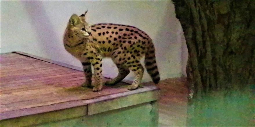 Afrika vahşi kedisi, Darıca'da karantinaya alındı