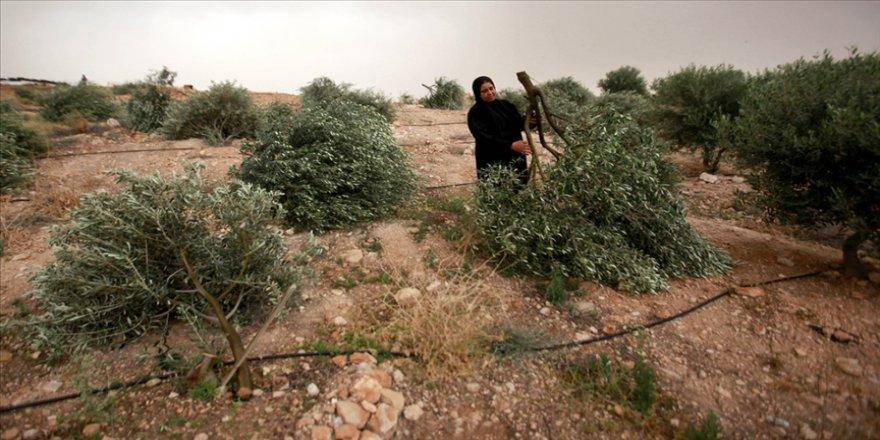 İsrail askerleri Batı Şeria'da Filistinlilere ait 2 bin zeytin ağacını söktü