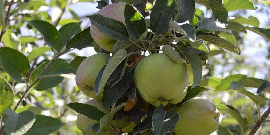 Yomra elması' coğrafi işaret tescil belgesi aldı