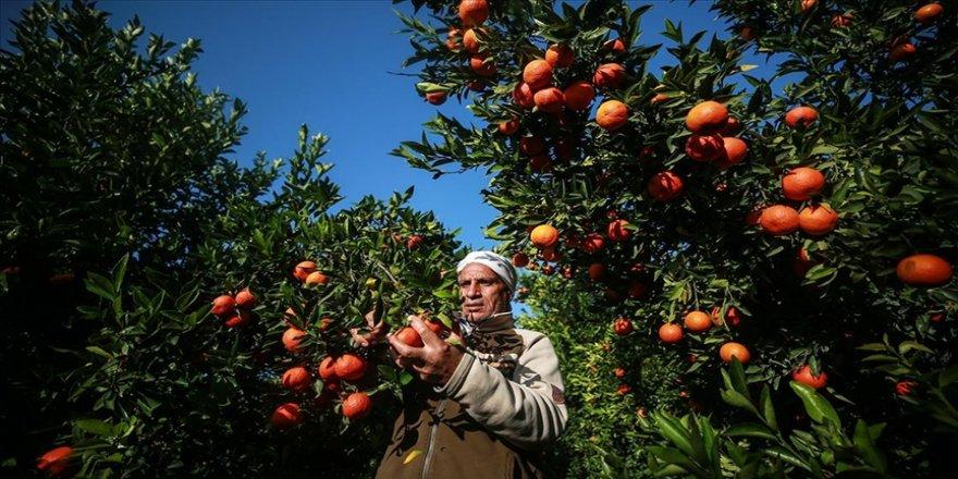 Gazze'nin meşhur narenciye bahçeleri İsrail'in saldırıları nedeniyle yok olma tehdidi altında