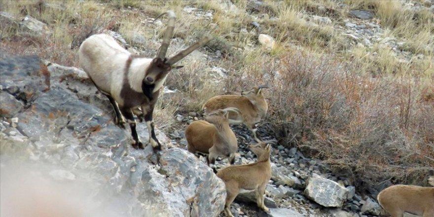 Aladağlar'daki yaban keçisi sayısı 1783'e ulaştı