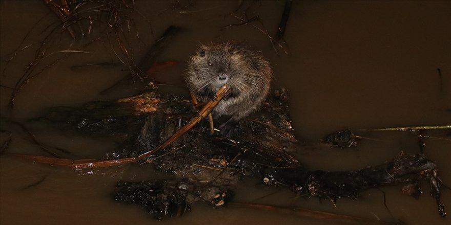 'Kırmızı alarm' verilen Tunca Nehri'nde su maymunları görüntülendi