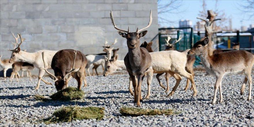 Bakıcıları hayvanat bahçesi sakinlerine ziyaretçilerin yokluğunu hissettirmiyor