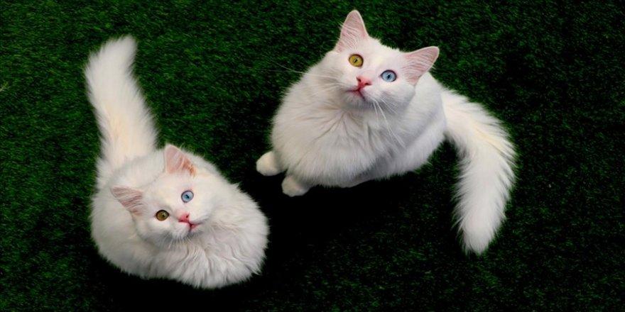 Van kedileri 'uluslararası sağlık karnesi' ile sahiplendiriliyor